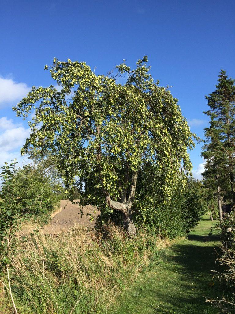 Langpæretræ ved Æblestien Femø